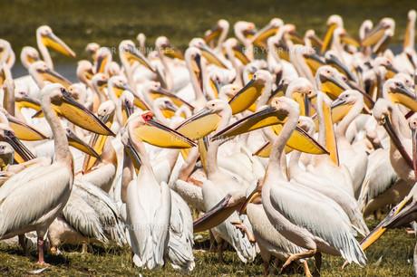 Pelicans at the Lakeの写真素材 [FYI00639749]