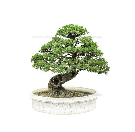 Bonsai tree isolated on white backgroundの写真素材 [FYI00640150]