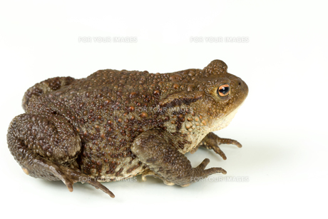 Common toad, bufo bufo, isolatedの写真素材 [FYI00640561]