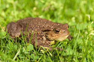 European common toad, bufo bufo outdoorの写真素材 [FYI00640563]