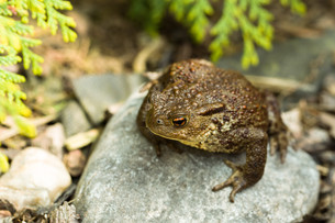 European common toad, bufo bufo outdoorの写真素材 [FYI00640564]