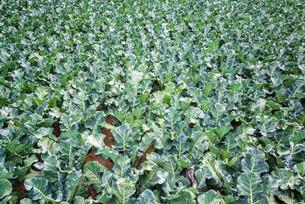 Field of Green Kaleの素材 [FYI00640784]
