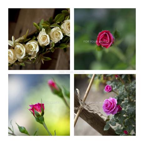 Rosesの写真素材 [FYI00641121]