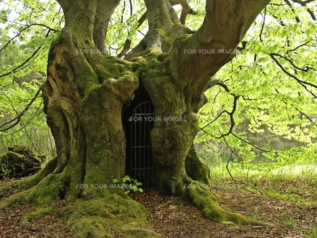the gateway to the netherworld ... ancient hutebuche at bear mountain in springの素材 [FYI00642041]