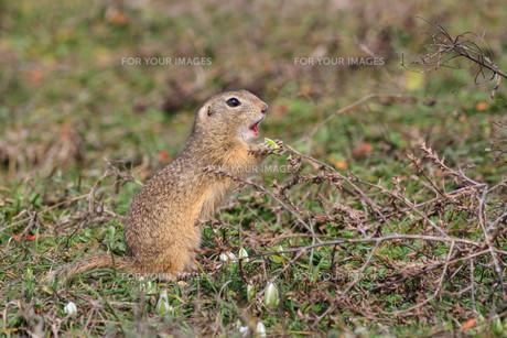 prairie dog in the grassの写真素材 [FYI00642867]