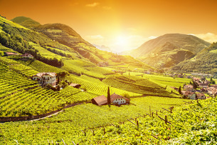 Beautiful sunset view over a vineyard in Italyの写真素材 [FYI00643024]