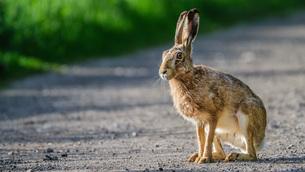 hareの素材 [FYI00643294]