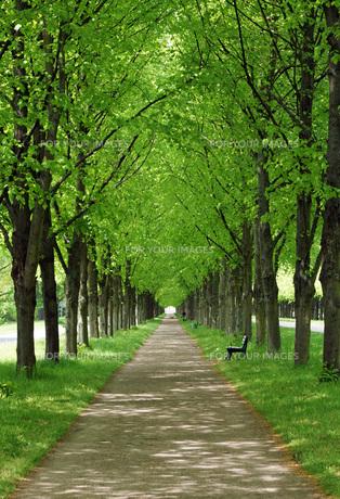 lindenallee in spring - hannover herrenhausenの素材 [FYI00643447]