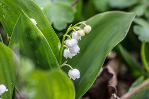 lily of the valley with traubigem inflorescenceの写真素材 [FYI00643450]