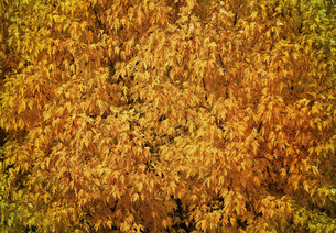 Autumn tree with abundant foliage yellow color ( background image).の写真素材 [FYI00643581]