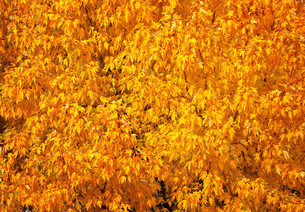 Autumn tree with abundant foliage yellow color ( background image).の写真素材 [FYI00643582]