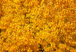 Autumn tree with abundant foliage yellow color ( background image).の写真素材 [FYI00643583]