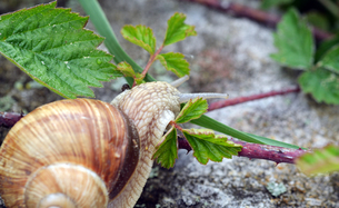 snail (helix pomatia)の素材 [FYI00643585]