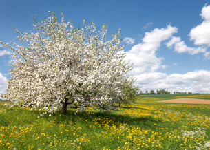 ample blossoming apple tree in a flower meadowの写真素材 [FYI00643802]
