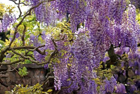 japanese laburnum wisteria floribunda in a pergolaの写真素材 [FYI00644037]