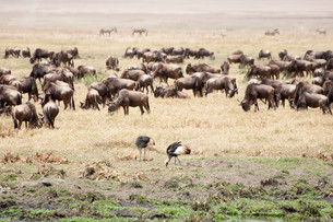 Crowned cranes and buffalo herd.の写真素材 [FYI00644056]
