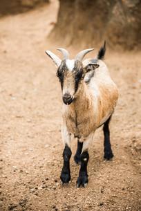 Pygmy Goat on farmの写真素材 [FYI00644060]