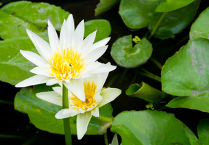 White Blossom Lotus Flower  Focused on Flowerの写真素材 [FYI00644537]