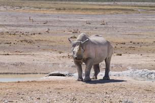 Rhinoの写真素材 [FYI00644651]