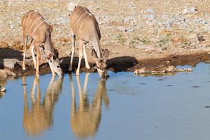 Kudu drinkingの写真素材 [FYI00644652]