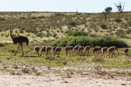 Ostrichesの写真素材 [FYI00644656]