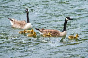 geeseの素材 [FYI00644678]