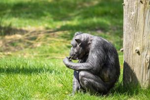 Old chimp eating fruitの写真素材 [FYI00645024]