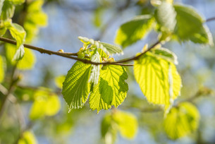 Fresh green beech leavesの写真素材 [FYI00645026]