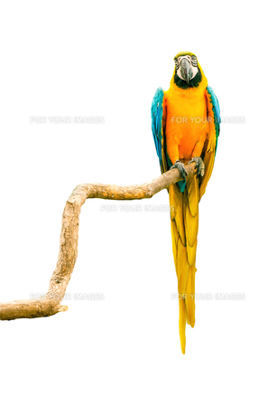 Macaw parrot on a twigの写真素材 [FYI00645033]