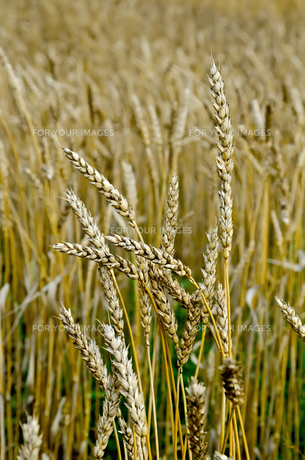 Spikelets of wheat on the fieldの写真素材 [FYI00645255]