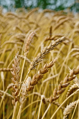 Spikelets of wheat against the background of a wheat fieldの写真素材 [FYI00645256]