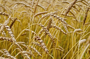 Spikelets of wheat in a wheat fieldの写真素材 [FYI00645259]