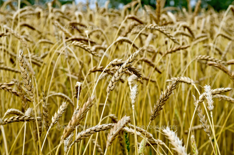 Spikelets of wheat against the background of a wheat fieldの写真素材 [FYI00645260]
