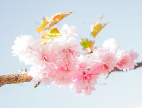Japanese pink cherry blossoms, bloomingの写真素材 [FYI00645343]