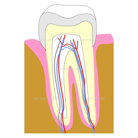 teethの素材 [FYI00645353]