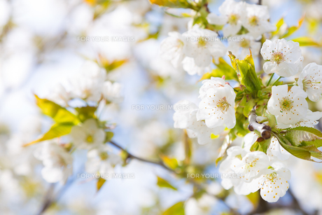 Blooming branch of the fruit treeの写真素材 [FYI00645540]