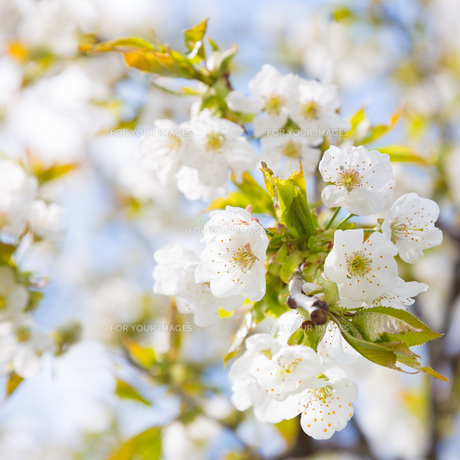 Blooming branch of the fruit treeの写真素材 [FYI00645543]