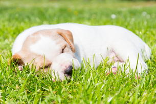 Mixed-breed cute little puppy on grass.の写真素材 [FYI00645555]