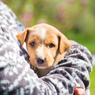 Mixed-breed cute little puppy in lap.の写真素材 [FYI00645556]