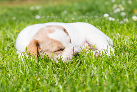 Mixed-breed cute little puppy on grass.の写真素材 [FYI00645558]