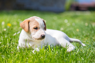 Mixed-breed cute little puppy on grass.の写真素材 [FYI00645559]