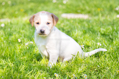 Mixed-breed cute little puppy on grass.の写真素材 [FYI00645560]