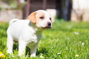 Mixed-breed cute little puppy on grass.の写真素材 [FYI00645561]