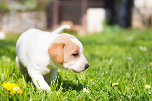 Mixed-breed cute little puppy on grass.の写真素材 [FYI00645562]