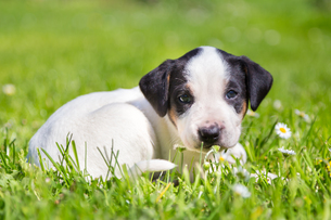 Mixed-breed cute little puppy on grass.の写真素材 [FYI00645563]