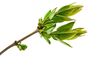 spring tree branch with fresh buds isolated on whiteの写真素材 [FYI00645617]