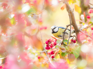 Blue tit bird in flowering apple treeの写真素材 [FYI00645620]