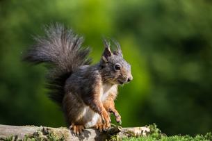 squirrel sciurus vulgaris image 20の写真素材 [FYI00645787]