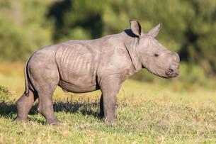Cute Baby Rhinoの写真素材 [FYI00645848]