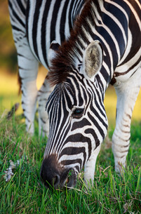 Plains Zebra Grazing on Green Grassの写真素材 [FYI00645854]